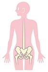 背骨と骨盤のイラスト