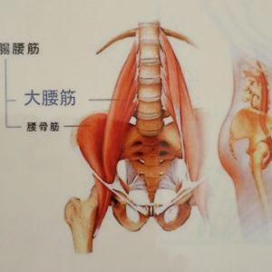 腸腰筋のイラスト